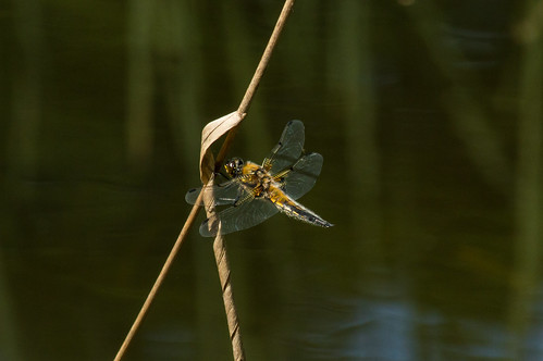 Dragonfly in a botanical garden, Nijmegen | by Anton de Groot