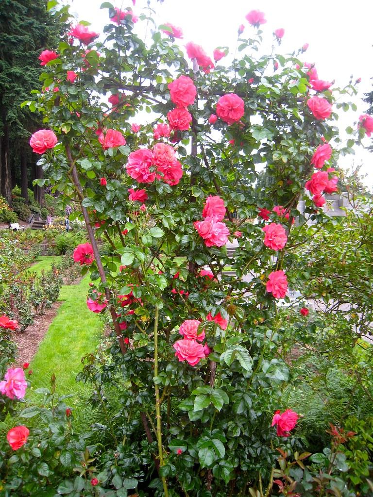 climbing rose 39 rosarium uetersen 39 fuzzyjay flickr. Black Bedroom Furniture Sets. Home Design Ideas