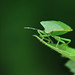 Rebecca Richardson - Green Shield Bug