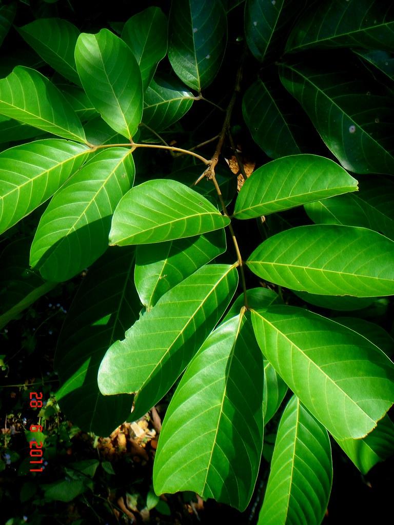 nephelium lappaceum l essay Rambutan (nephelium lappaceum l), durian (durio zibethinus murr), antidiabetic, introduction diabetes mellitus and hypercholesterolemia are.