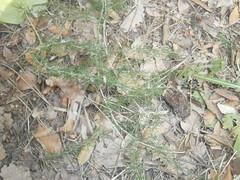 G1-Yessica Vizcaino-Asparagus acutifoliusEsparaguera
