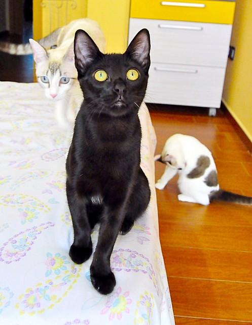 Selva, gatita Pantera guapa, estilizada y divertida esterilizada, nacida en Mayo´16, en adopción. Valencia. ADOPTADA. 29727647990_7c4cc42534_z