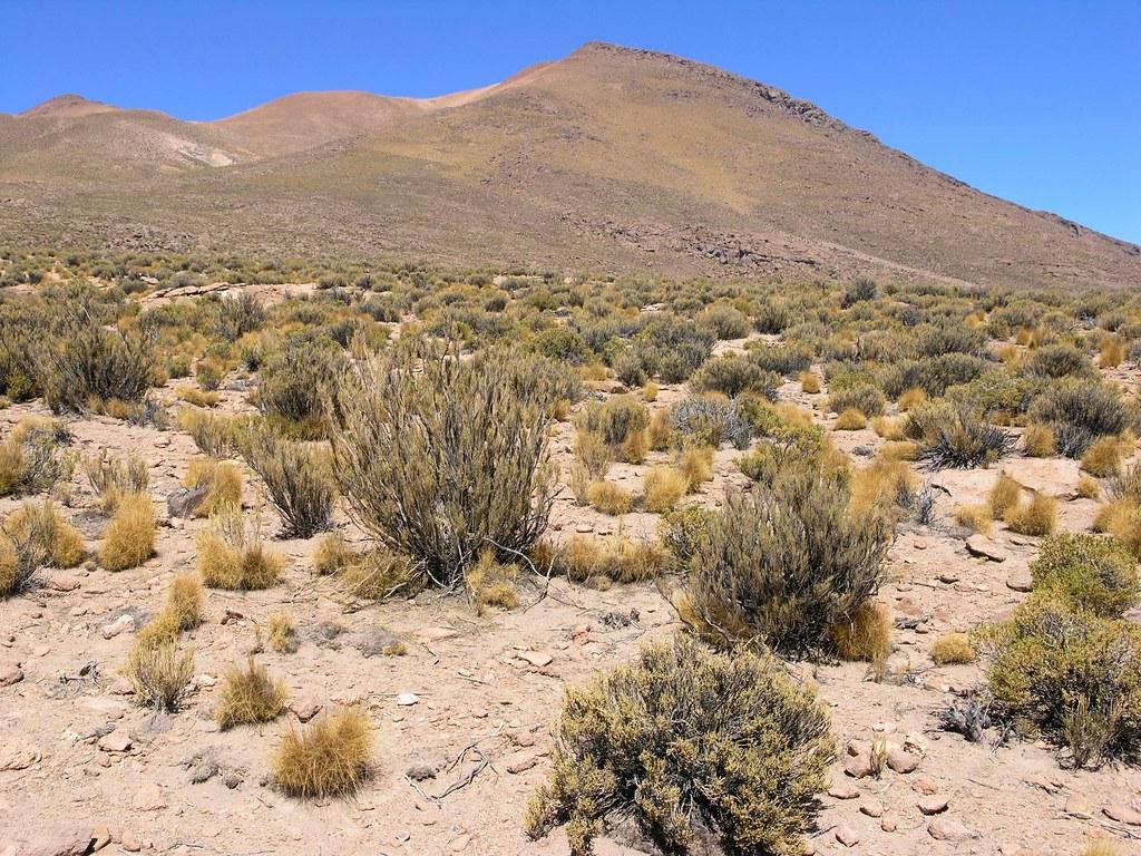 Desert Vegetation - Vegetación del desierto entre Chiguana ...