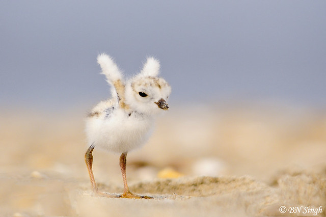 Baby piping plover - photo#17