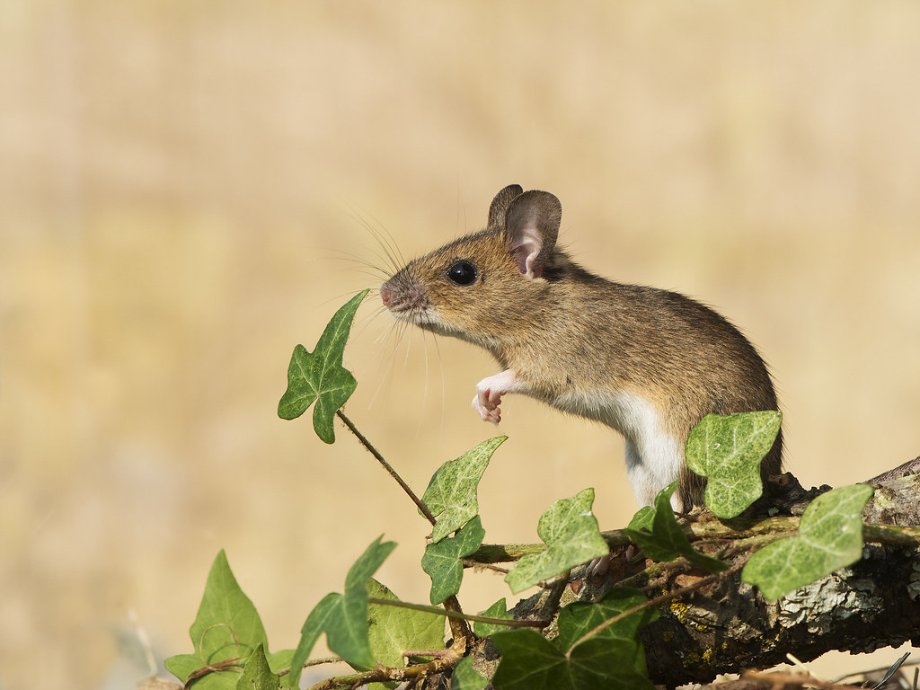 Woodmouse (Apodemus sylvaticus) | Phil Winter | Flickr