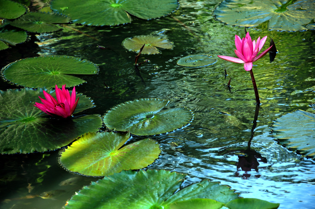 Lotus pond phanthiet blue fam flickr for Koi fish pond lotus