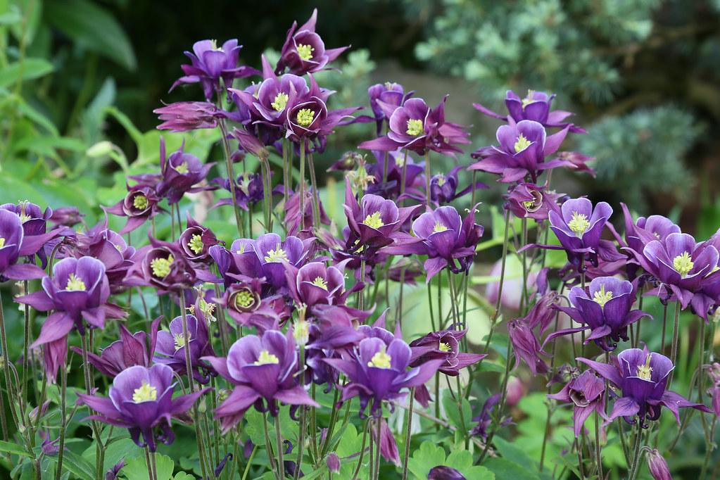 Purple Aquilegia Columbine May Be Viewed In Original