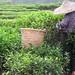 Tea Picker on Wudong Peak