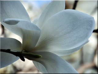 Magnolia Magic | by Nancie (Ladyexpat)