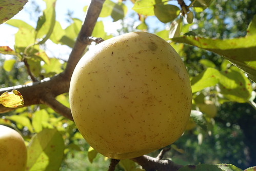 Honeygold