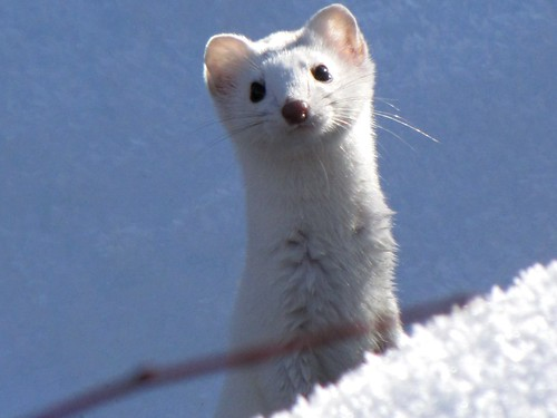 SNOW WEASEL | by Aquila-chrysaetos