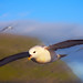 Flying Fulmar