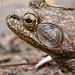Brave Bullfrog, Kumeyaay Lake