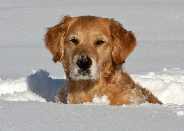 Dogs Playing In The Snow Golden Retriever Golden