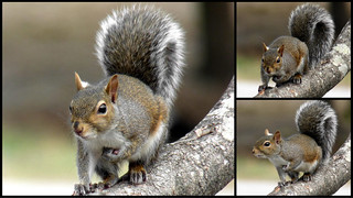 Squirrel triptych | by Chickens in the Trees (vns2009)