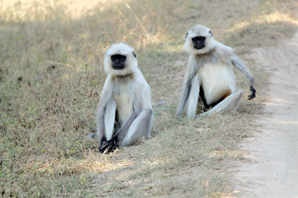 Two Black Monkeys Two Black Faced Langur Monkeys Semnopithecus Entellus at Kanha National