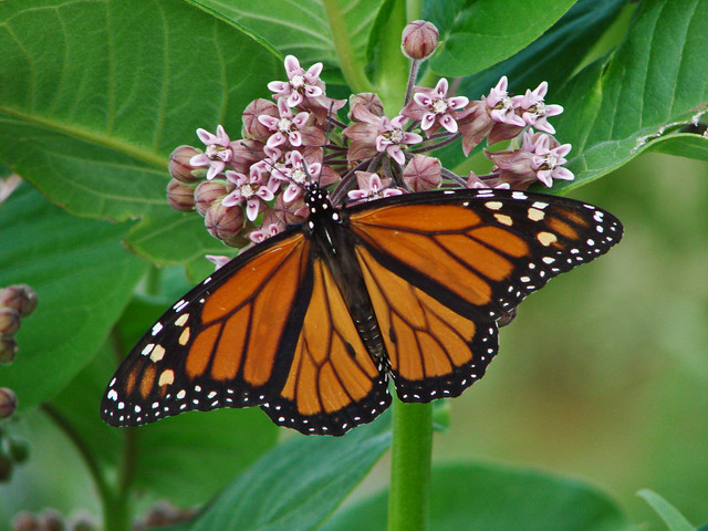 Monarch butterfly in milkweed