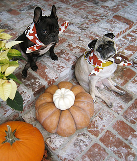 pug and french bulldog on thanksgiving | by ...love Maegan