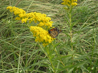 Monarch on Goldenrod | by U. S. Fish and Wildlife Service - Northeast Region