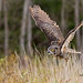 Great Horned Owl - (Oct 2010)