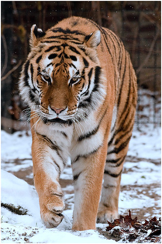 PP_Zoo_0100-3 Tiger 1st snow | by alj70