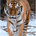 PP_Zoo_0100-3 Tiger 1st snow