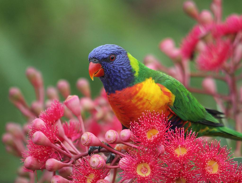 Rainbow Lorikeet | This lorikeet, along with three others ...