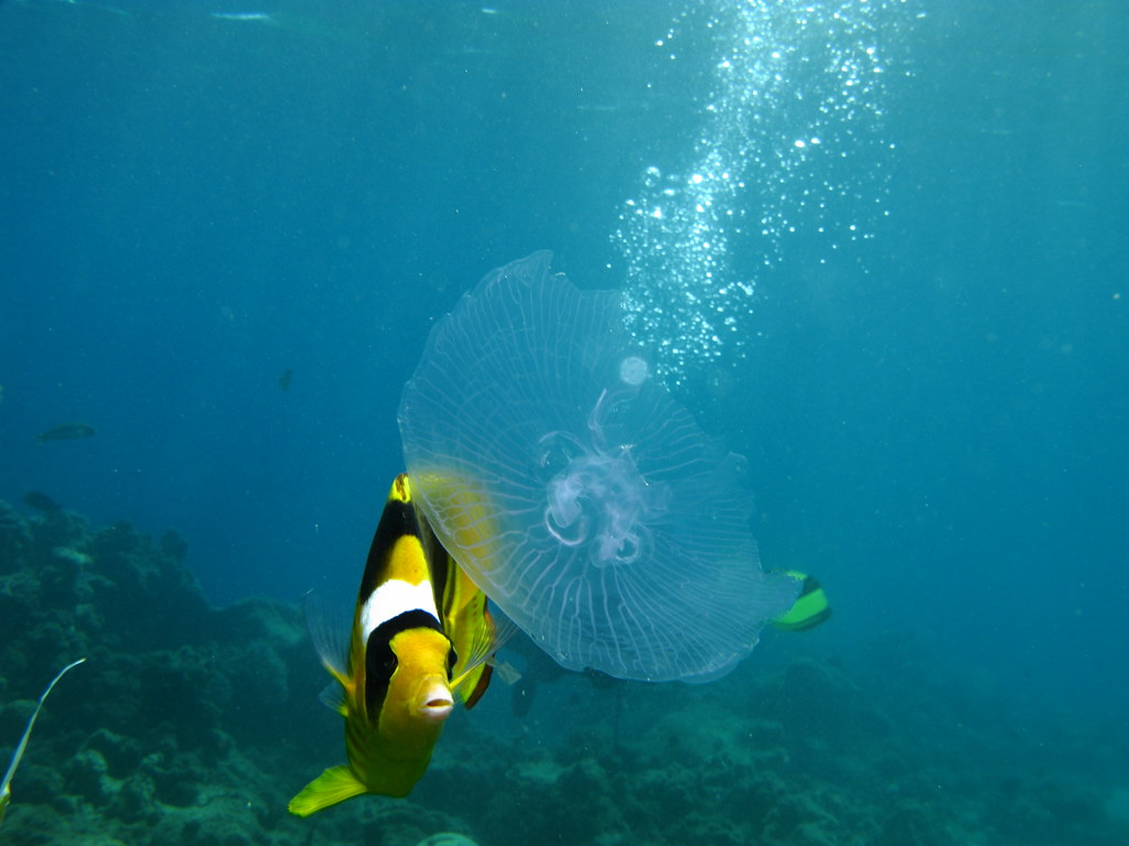 Butterfly fish eating jellyfish prilfish flickr for What do jelly fish eat