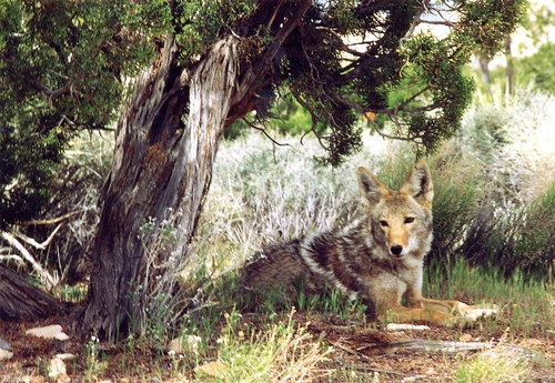 coyote_camilla_fox | by Contra Costa Times