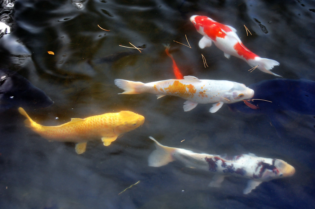 Koi pond it is believed that the practice of keeping for Koi holding pool