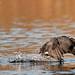 Coot On The Run, Lake Murray
