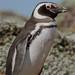 Pinguinera Seno Otway
