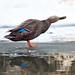 _MG_7980 Quack