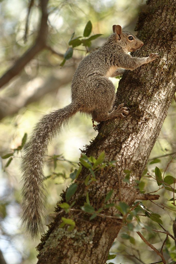Western Gray Squirrel climbing a canyon live oak tree | Flickr