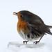 Little robin.