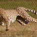 Cheetah Run1