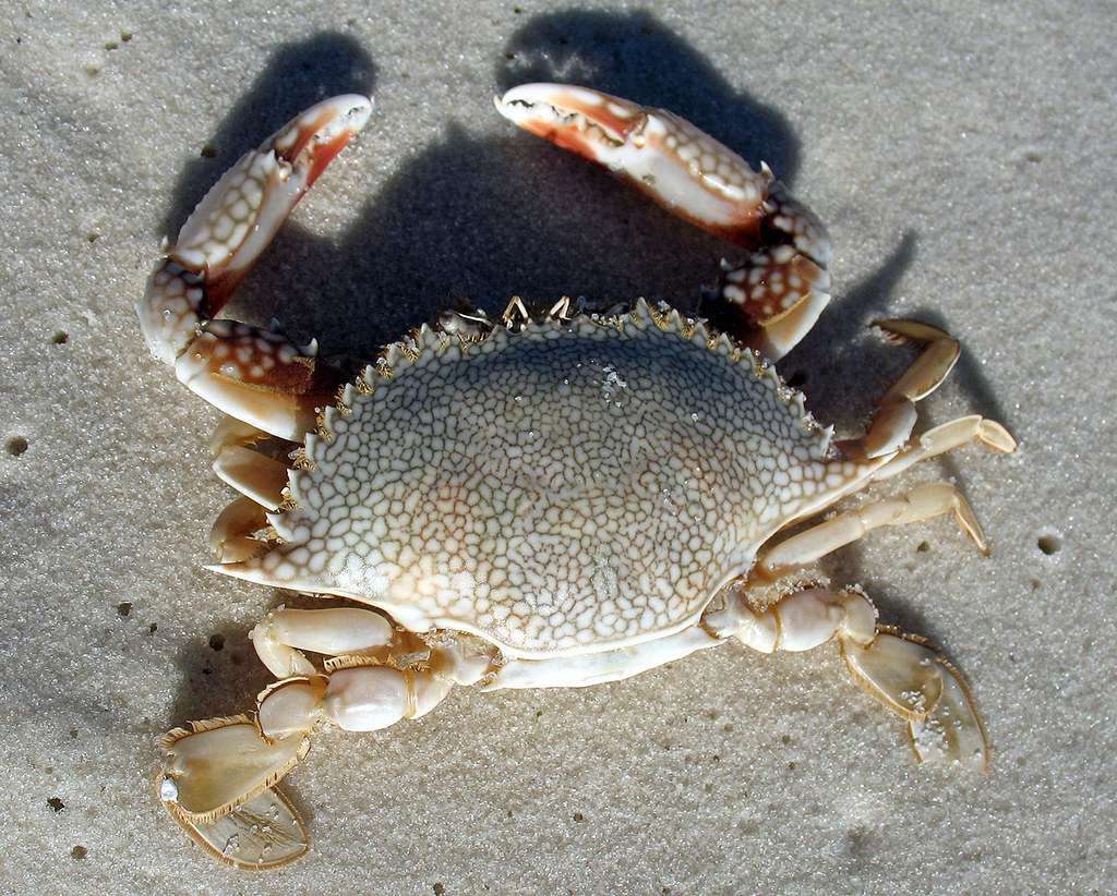 Speckled Crab Destin Florida Washed Up On The Beach At