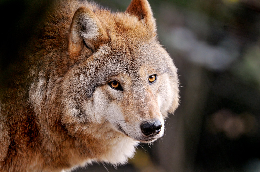 Wolf Dog Hybrid as a Pet  PetHelpful