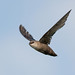 Chimney Swift08