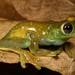 Hyloscirtus albopuntulatus_2313-Ecuador-Cutucu-Nuevo Israel.jpg