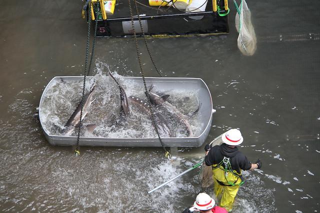 Bonneville dam sturgeon removal bonneville dam dewaters for Bonneville dam fish camera
