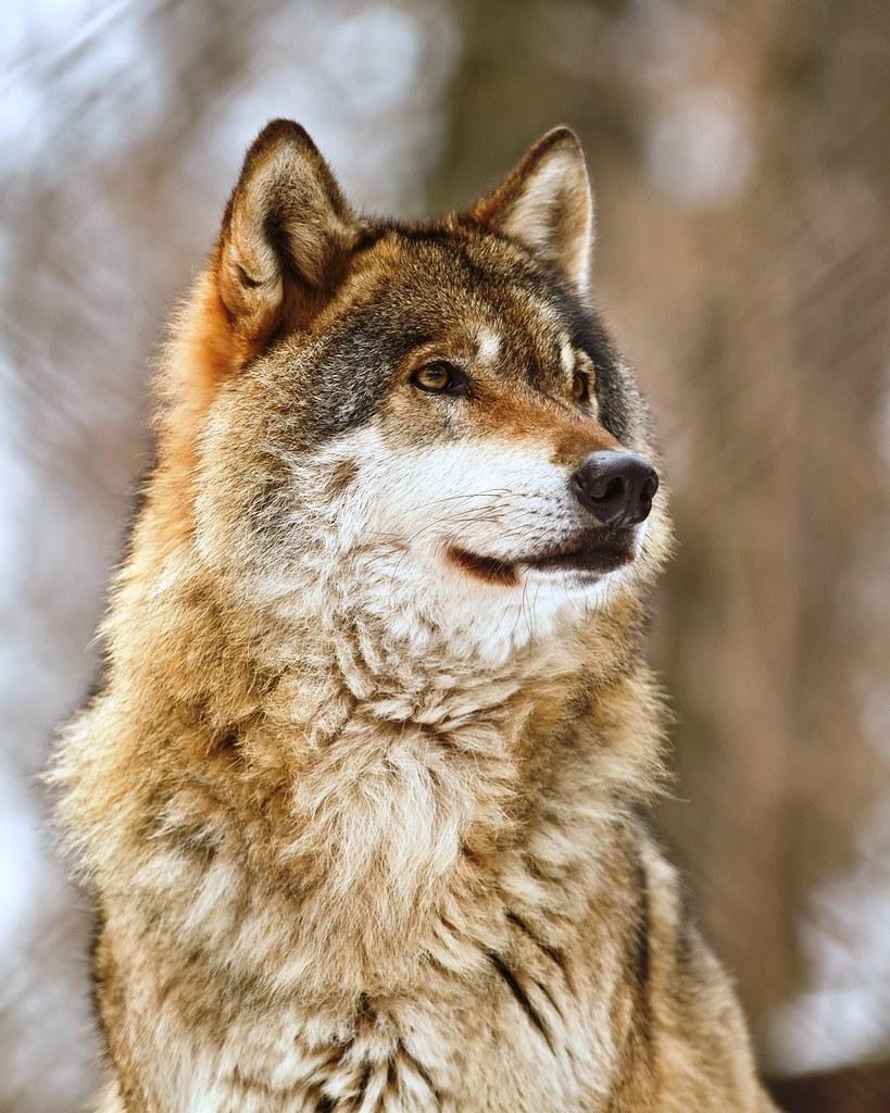 Britain // Female // Eurasian Wolf 5519391885_d94e66a9a2_b