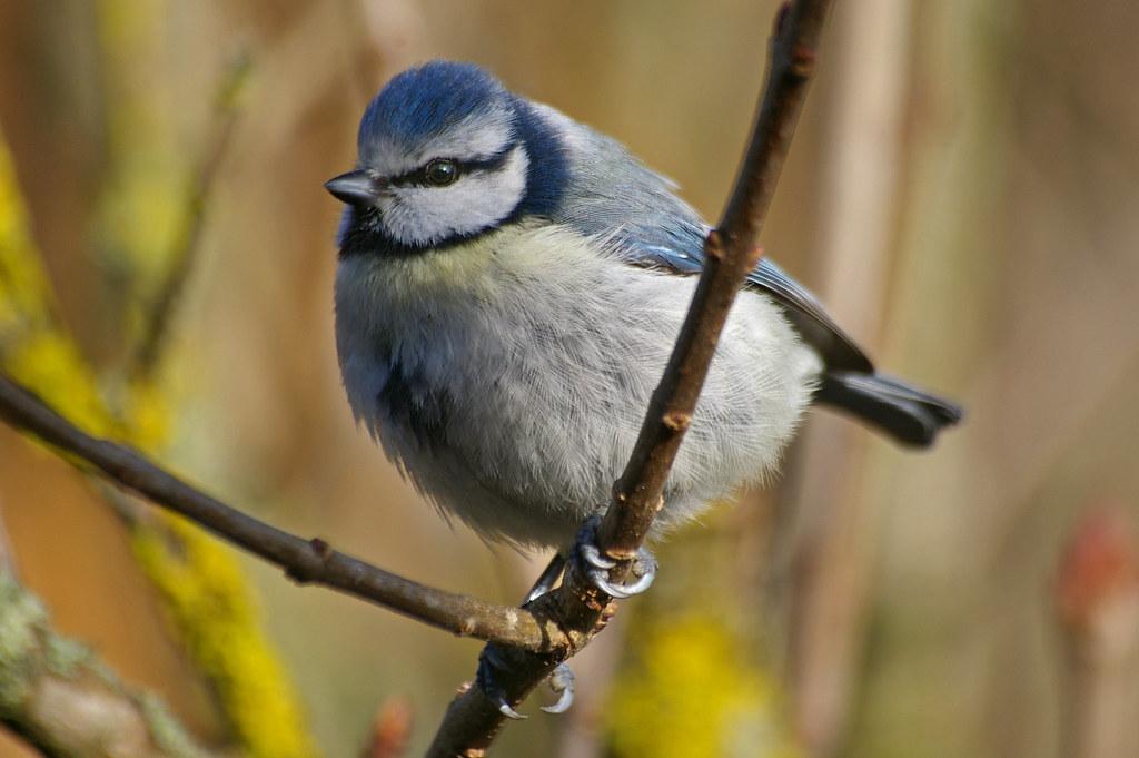 Oiseaux du jardin oiseaux de th s e la romaine m sange for Oiseaux du jardin
