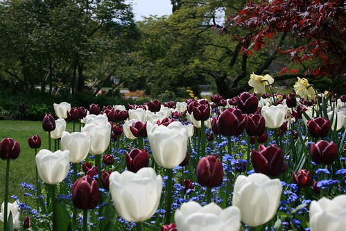 Tulips at Queen Elizabeth Park | by mountainhiker