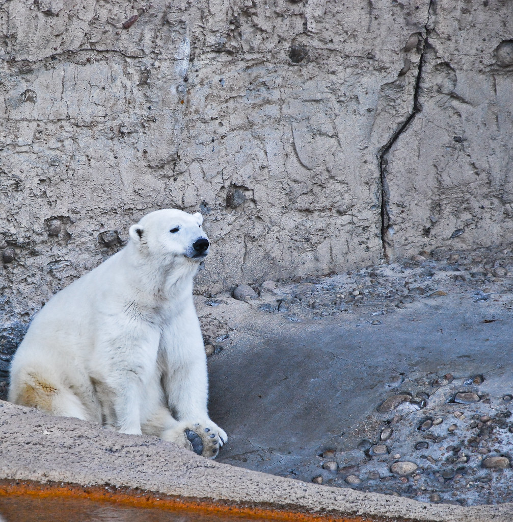 Polar Bear Sits In The Denver