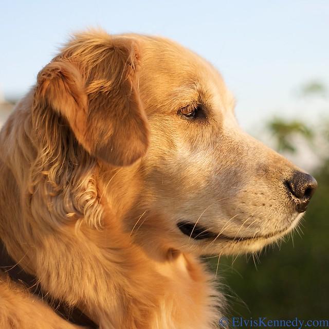 Wally S Dog Rescue Kelpie Og