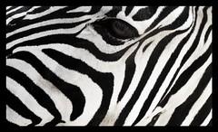 Zebras look nice 2