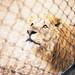 狮子发现肉没了,显得很忧伤