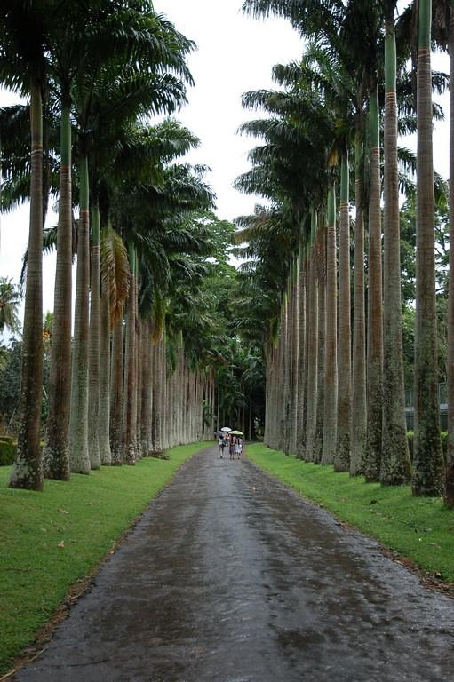 Palm Tree Alley Kandy Botanical Gardens Near Kandy Sri L Flickr