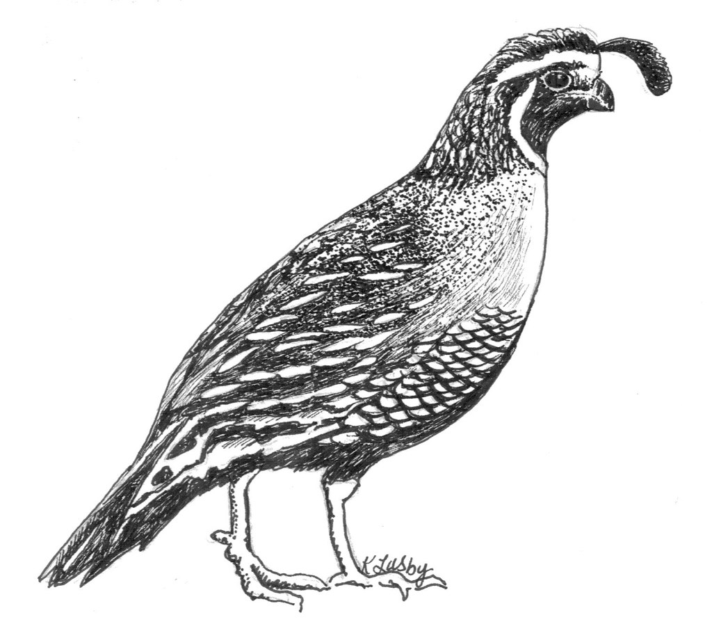 Line Drawing Quail : California quail drawing